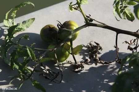 A Lycopersicum szechenyicum még zöld termése - Fotók: Barakonyi Szabolcs