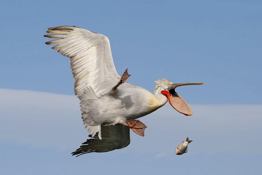 Ne lepődj meg, ha a fejedre esik egy hal: valószínűleg csak egy kezdő pelikán lépett akcióba.