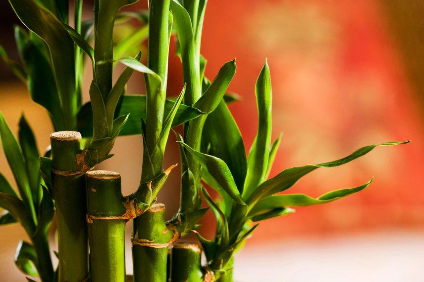 A szerencsebambusz a feng shui szerint remek forrása a pozitív energiáknak, de semmiképpen se válassz műbambuszt, csak élőt, mely fejlődni képes. Ez minden más virágra is igaz.