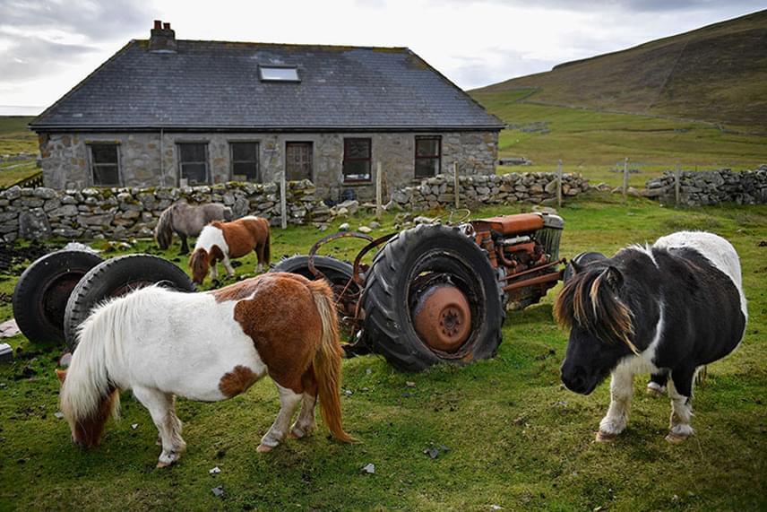 A lovakat a helyiek tanítják be az e célra létrehozott speciális farmokon.