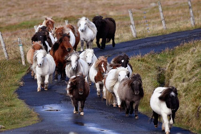 Foulán ugyanis 1500 shetland póni él, és nem hasztalanul telnek a napjaik: segítőkutyákhoz hasonlatos képzést kapnak, és végül ott helyezik el őket, ahol szükség van rájuk.