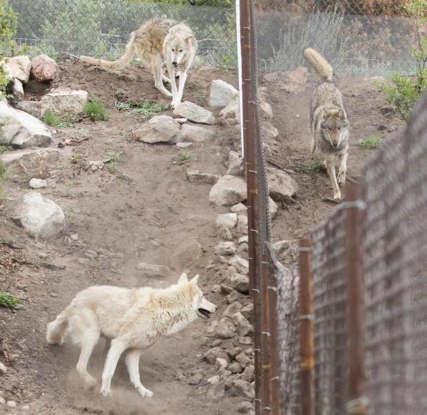 Az állat érdekében Neont beköltöztették a Wolf Connection nevű szervezethez, ahol a többi farkas és farkas-kutya között azonnal megtalálta a helyét, rögtön a falka tagja lett, és sokkal boldogabb, mint korábbi szerető, de számára mégsem megfelelő otthonában.