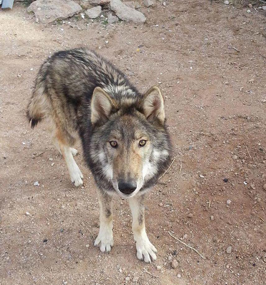 A szervezet egy munkatársa közölte Neon gazdájával, hogy kedvence valójában nem egyszerű, hanem farkas-kutya hibrid, tehát egyik szülője farkas, másik szülője pedig kutya volt, de egyértelműen a farkasgének dominálnak benne.