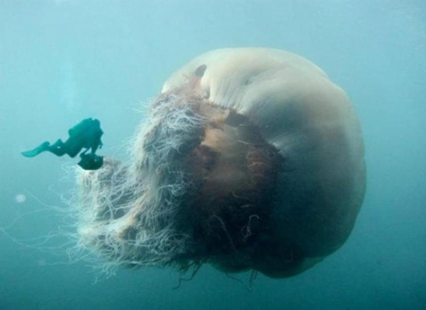 A medúzák több szempontból is különleges csoportnak számítanak az állatvilágban: a néhány milliméteres egyedektől a több méter átmérőjű monstrumokig temérdek fajuk ismert. Egy ilyen óriással viszont azért nem szívesen találkozna az ember.