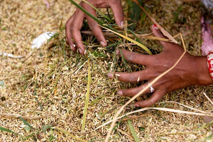 Egy asszony a rizsbetakarítási munkálatok közben elhullott rizst gyűjti össze. Ilyenkor a hántolatlan szemek még egészen máshogy festenek, mint amit már a csomagban látsz.