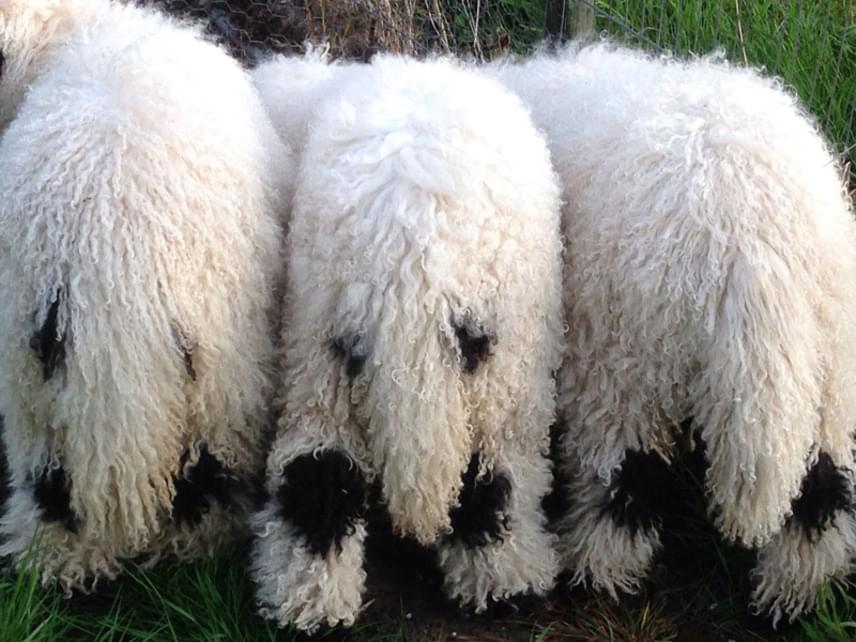 A birkák szőre teljesen fekete a térden, az ugróízületnél, a talpon, az orron, a szemnél és a fülön.