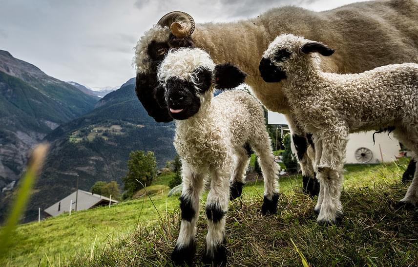 Sokan vannak azok is, akik szerint semmi félelmetes nincs az állatokban, sőt, kifejezetten cukik a furcsa szőrzetükkel, ami már születésükkor is feketés.