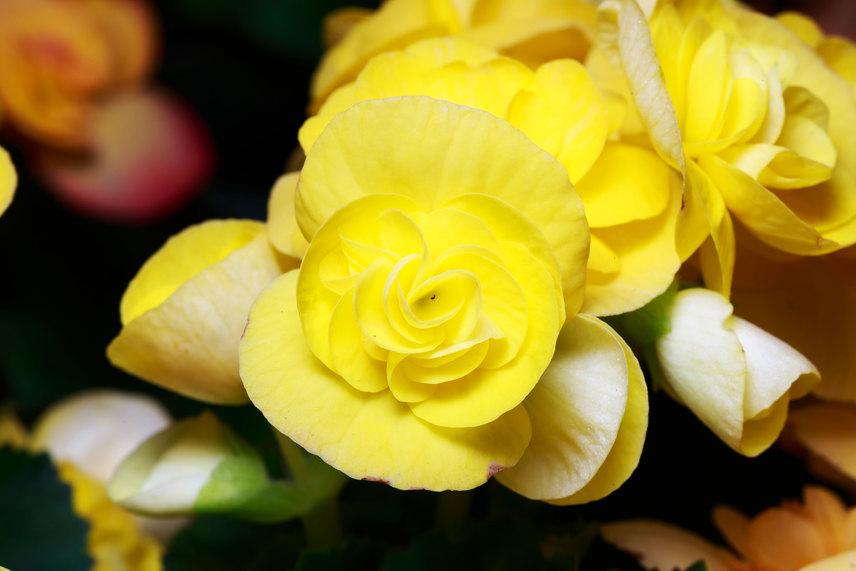 Sárga begóniaAz aranyat idéző sárga növények, így a pompás sárga begónia is pénzcsalogató növény. Helyezd lakásod délkeleti részére, azaz pénzterületére, hogy még hatásosabb legyen a bőségvonzás.