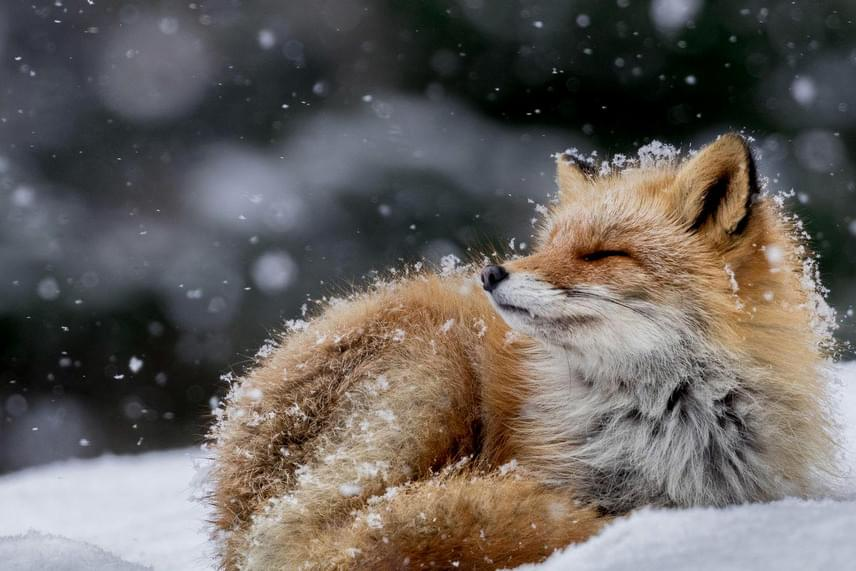Fürdőzés a hópelyhekben - Hiroki Inoue fotója.