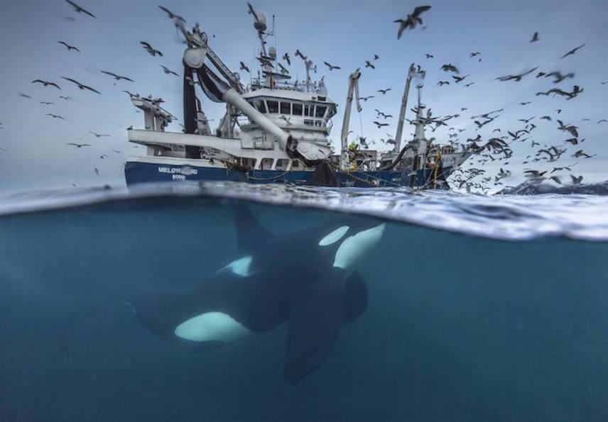 A Vadvilág kategóriában a norvég Audun Rikardsen képe nyerte el az első helyezést. A fotó Tromsø városánál készült a heringhalászok hajójánál, ahol a gyilkos bálnák már megtanulták, mikor csaphatnak le egy-egy könnyen érkező zsákmányra.