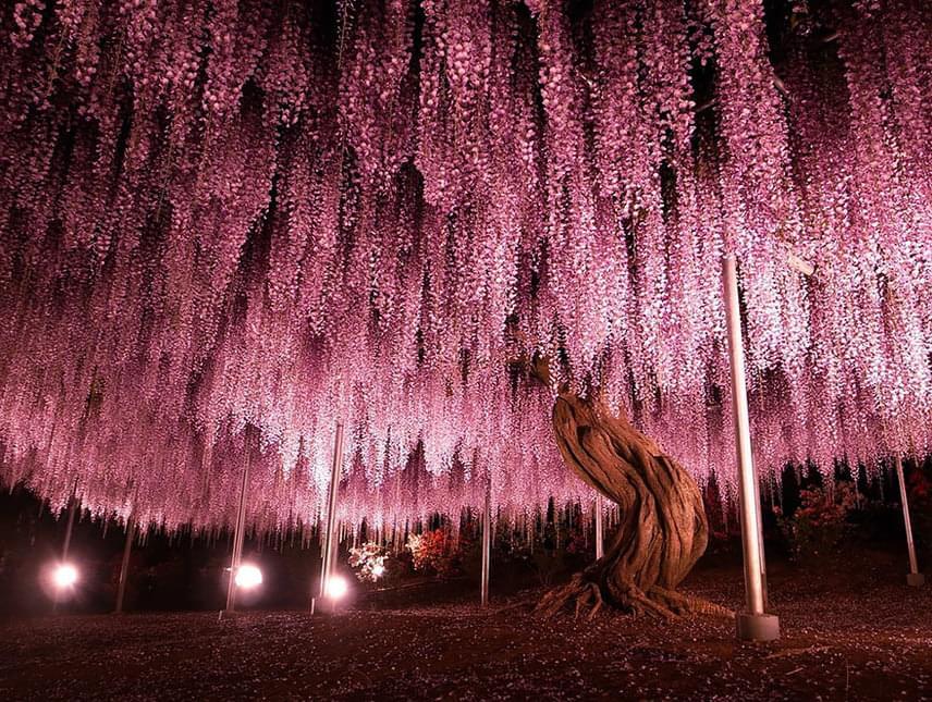 Káprázatos látvánnyal szolgál a japán lilaakác is, melynek legidősebb példánya már 146 éves. Az Ashikaga virágpark pompás fái nagyon nagy kiterjedésűek, indái súlyuk miatt majdnem a földig érnek, ami miatt támasztékkal tudnak csak biztonságosan épen maradni. Az alattuk folytatott séta azonban mesebeli élménnyel tölti el az embert.