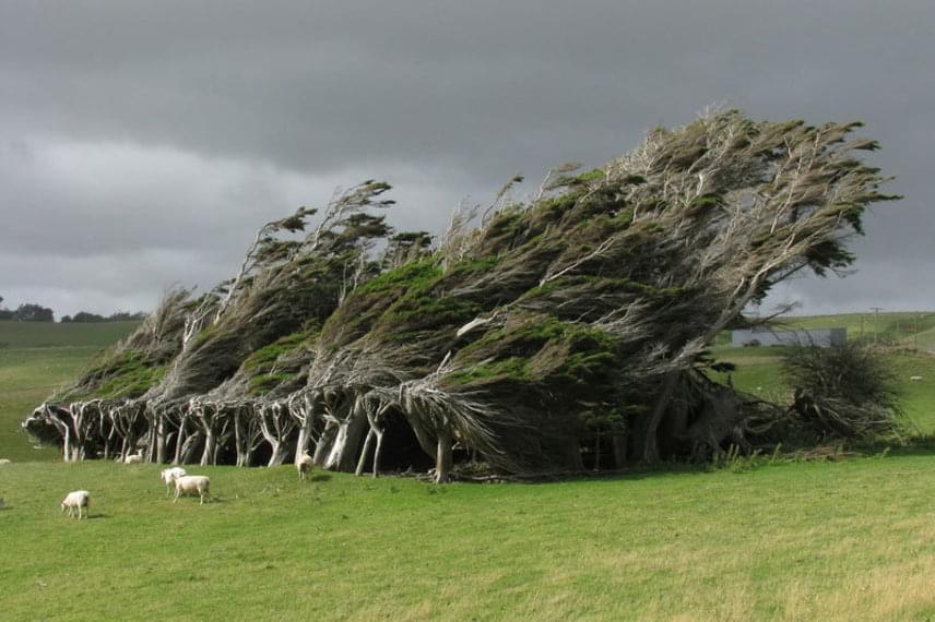 A világ legerősebb fái Új-Zéland déli részén, a Slope Point közelében élnek. Ez a terület a legkevésbé védett az Antarktiszról érkező erős széltől, amely ellen a fáknak csak egyetlen esélyük van: ha képesek meghajolni. Ültetésük célja az volt, hogy a környéken legelő birkáknak nyújtsanak menedéket, ám a természet kicsit alakított a formájukon.