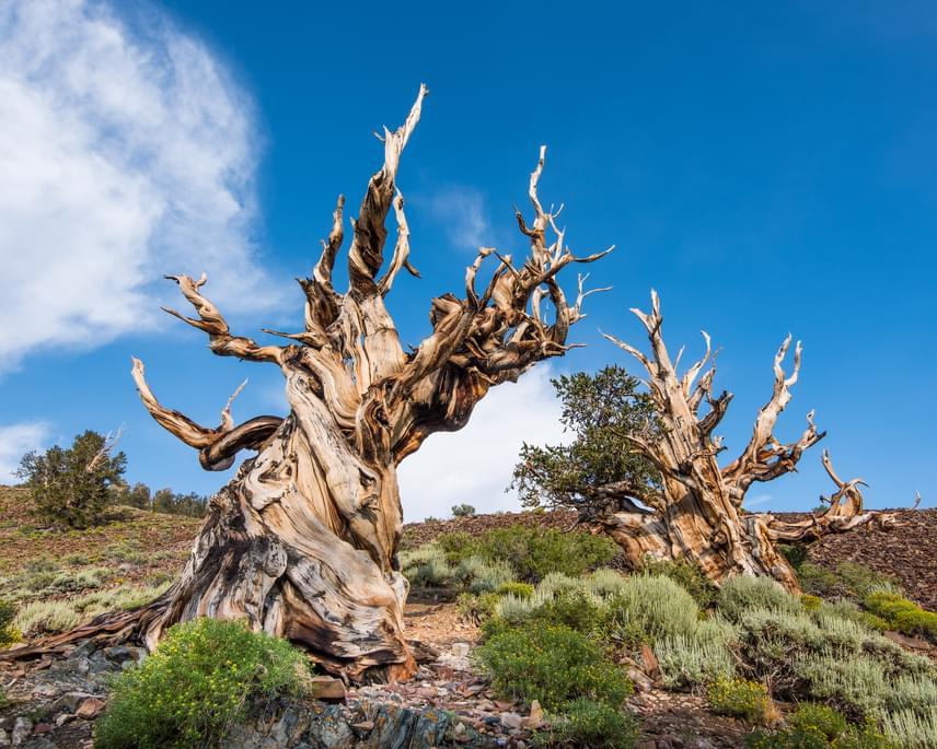 Közel ötezer éves a világ legidősebb fája, amely stílszerűen a Matuzsálem-fa nevet viseli. A látványos szálkásfenyő Kaliforniában található, ám pontos helye saját érdekében titkos. A fa a kontinens első ismert civilizációja korában is állt már, így minden bizonnyal hihetetlen történetekről tudna mesélni.