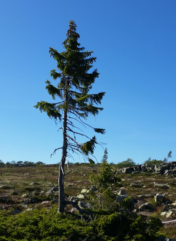 Az előbbi adat azonban pontosításra szorul: a világ legidősebb fája ugyanis valójában az 9550 éves svéd Old Tjikko, amelyet pusztán azon egyszerű ok miatt nem tekintenek rekordernek, hogy ez a lucfenyő több hasonlóan koros társával együtt a vegetatív klónozásnak köszönheti életét, tehát pár száz évenként a növény képes úgy meghalni, hogy a gyökérzete életben marad.