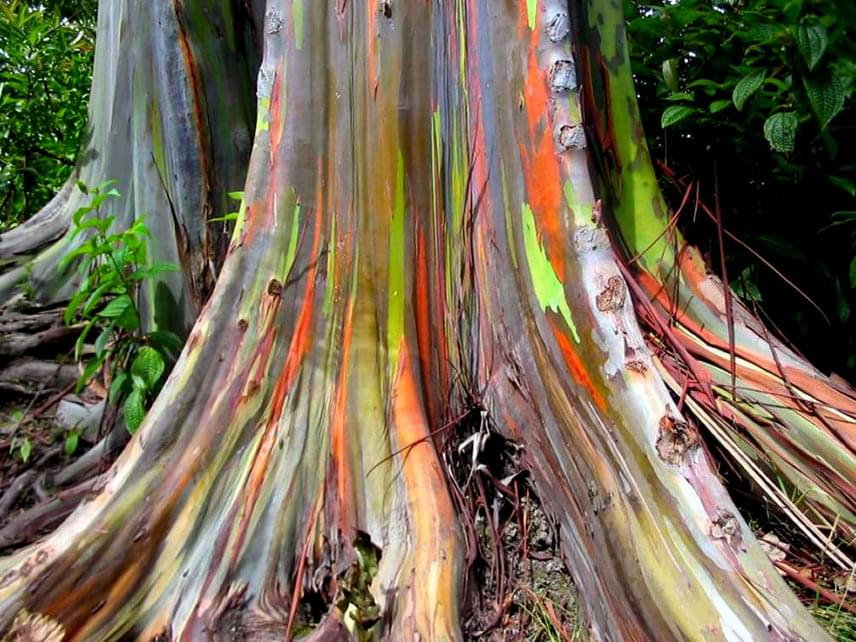 A Föld legszínesebb fája szintén igazi különlegesség: a szivárványszínű eukaliptuszt a külső környezeti hatásokon túl az idő teszi egyre tarkábbá. Ahogy a fa újra és újra foltokban megválik a kérgétől, a belső zöld kéregrész sötétedni kezd, majd elszíneződik, végül pedig megbarnul. Ezt megelőzően azonban páratlan látványt nyújt a Szunda- és Fülöp-szigeteki óriás.