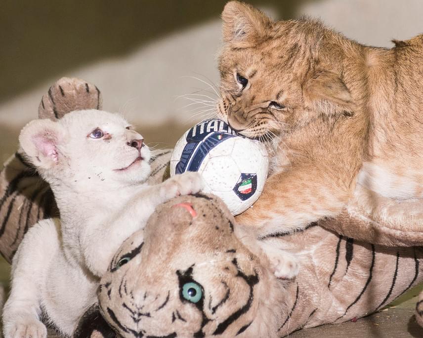 A Nyíregyházi Állatpark fehér oroszlánja és a Gyöngyösi Állatkertből érkezett, két héttel idősebb normál színváltozatú fajtársa játszik az állatpark Viktória házában.