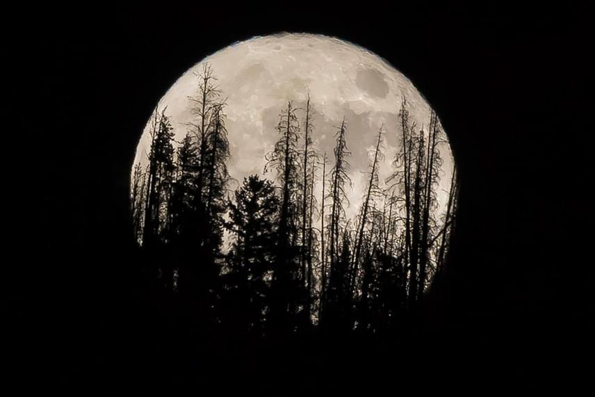 Az Amerikai Egyesült Államokban is óriási volt a hold. Így ragyogott egy fenyves mögött a Colorado állambeli Silverthorne közelében.