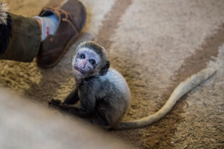 A három hónapos, szomorú szemű állatot heteken belül elkezdik társaihoz szoktatni.