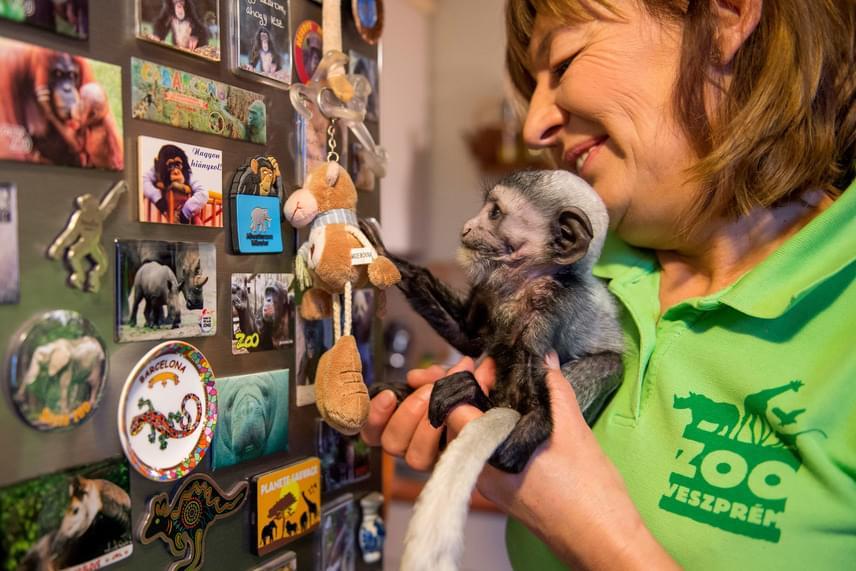 Marokházi Katalin, a veszprémi állatkert gondozója litéri otthonában nevelgeti az árván maradt zászlós farkú kolobuszt.