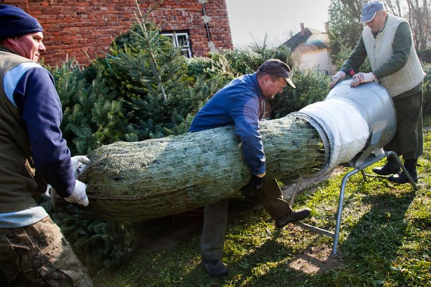 A háló megvédi a fákat a szállítás során: így garantálják, hogy a most kivágott fenyő még egy hónap múlva, karácsonykor is szép lesz.
