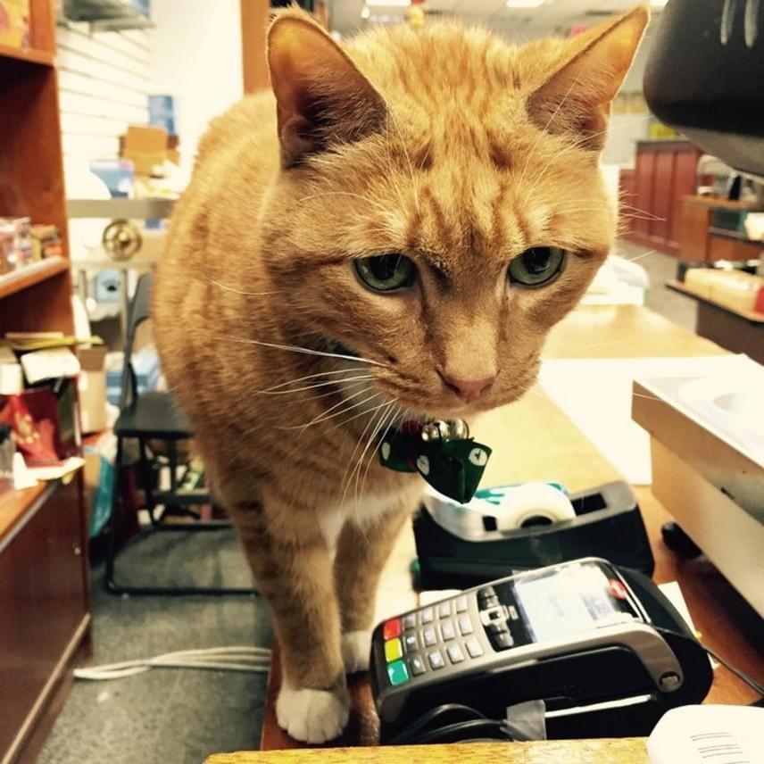 A gyönyörű macska a New York-i Chinatown közösségének megbecsült tagja. Kiscicaként került a teaboltba, és azóta sem tágított onnan, annyira jól érzi magát.