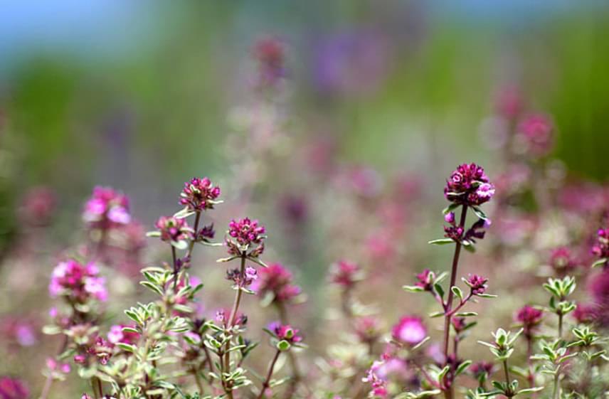Hasonló módon főzhetsz teát kakukkfűből is. Ez az egyszerű gyógynövény a benne lévő nyák- és görcsoldó vegyületnek, a timolnak köszönhetően közvetlenül stimulálja a hörgőkben lévő apró szőröket, amelyek a nyák elszállítására hivatottak.