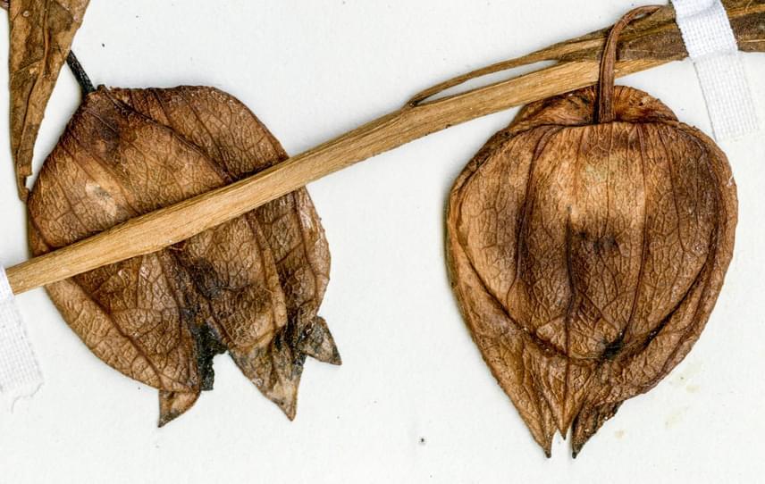 A megkövesedett maradványokról felfedezői megállapították, hogy a burgonyafélék vagy más néven csucsorok családjába tartozhat. Ebbe tartozik még többek között a paradicsom, a paprika, a padlizsán, valamint több mérgező termésű növény is.