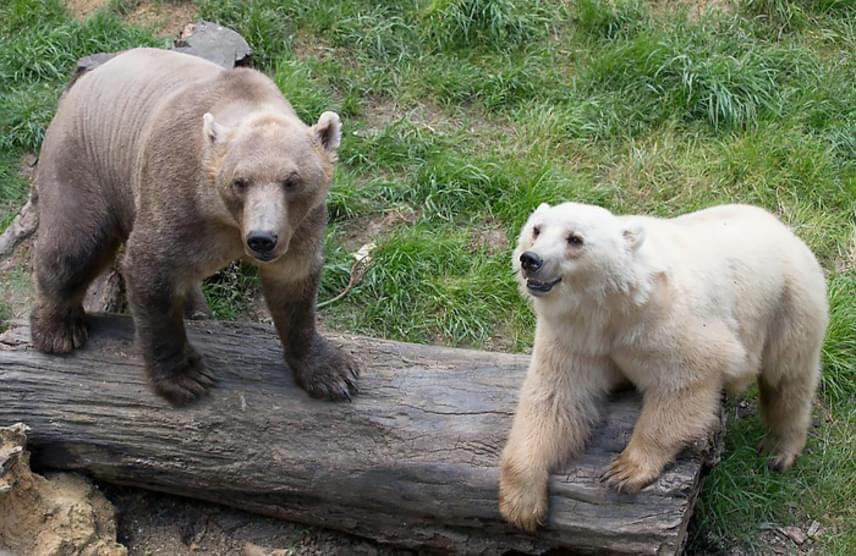 Az éghajlatváltozás miatt a jegesmedvék élettere az utóbbi időben lecsökkent, ezért egyre gyakrabban fordul elő, hogy barna és grizzly társaikkal találkoznak a sarkvidék közelében, de az állatkertekben sem ritka ez a faji kereszteződés, létrehozva ezzel a grolar bear és a pizzly nevű hibrideket.