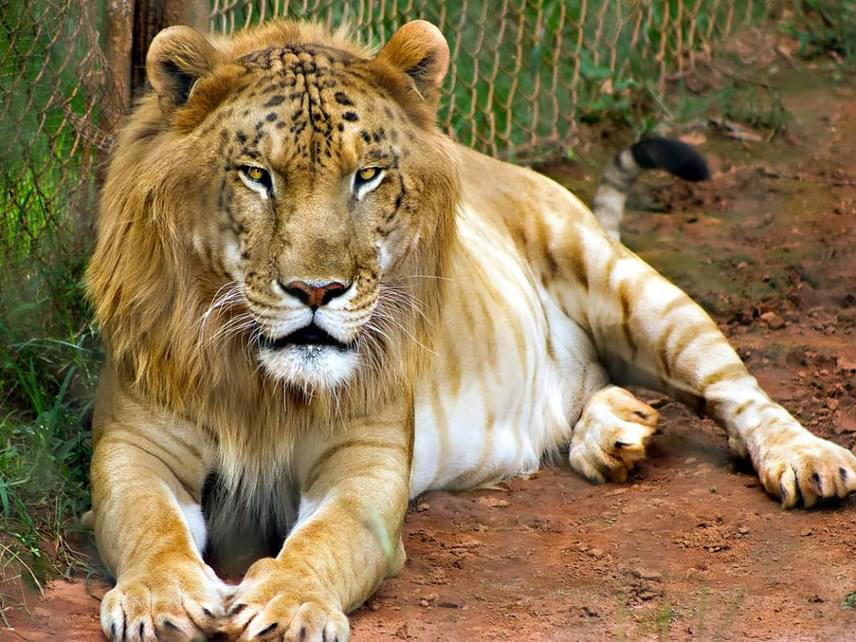 Ő tigon, a félig királyi állat. Anyai ágon ugyanis oroszlánok a felmenői, az apai rokonság viszont tigrisekből áll. A furcsa frigy fordítva is lehetséges, a hatalmas keveréket ekkor ligernek nevezik. Ez is állatkerti sajátosság, a természetben ugyanis előfordulási helyük akkorára zsugorodott, hogy szinte lehetetlen a két faj találkozása.