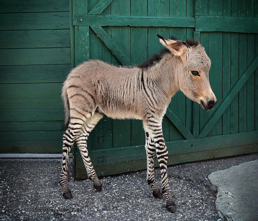Kevés bájosabb állatot látunk azonkey-nél, ami a szamár és a zebra találkozásából jöhetett létre. Nem zonkey viszont az első patás hibrid, a ló és a szamár keresztezéséből született öszvért régóta használják igavonásra, a ló és a zebra találkozásából kialakult zebroidról pedig Darwin is említést tett.