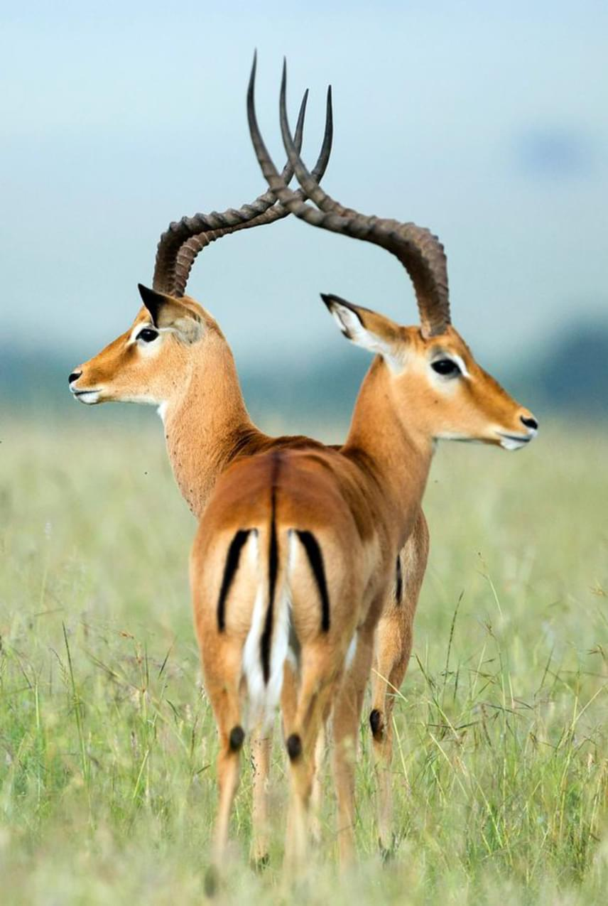 A kecses gazellák képén a lágy vonalak még jobban kápráztatják a szemet, látszólag a két alak eggyé is olvad. A kenyai Masai Mara Nemzeti Rezervátumban készült képen azonban a gazellák egyike egy kicsit előrébb áll, így teste egy része takarásban van.