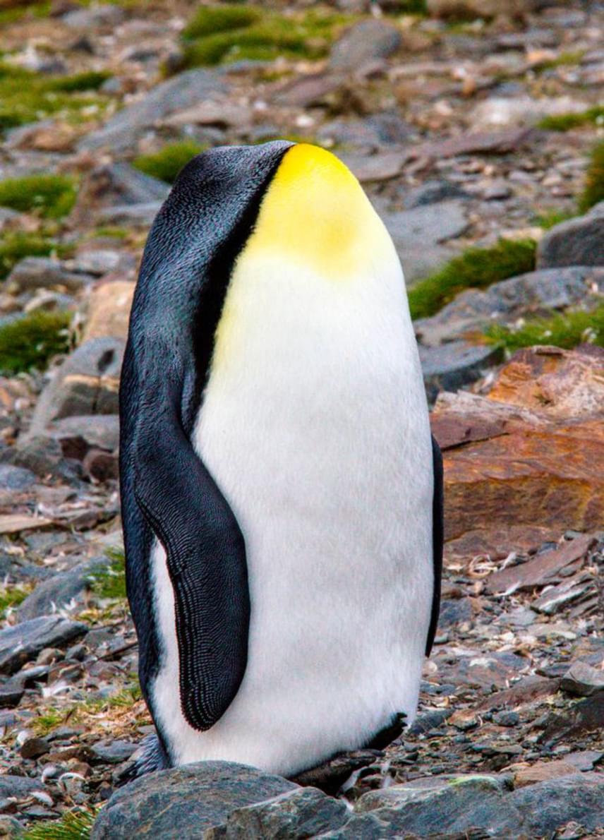 A Tűzföld és Antarktisz között található Dél-Georgia szigetén az állandó zord időjárás az úr. Az emberek által alig megközelíthető területen viszont háborítatlanul él a jókora pingvinpopuláció. A pingvinek nyaka rendkívül hajlékony, a fejetlen állatok képe tehát senkit ne tévesszen meg!
