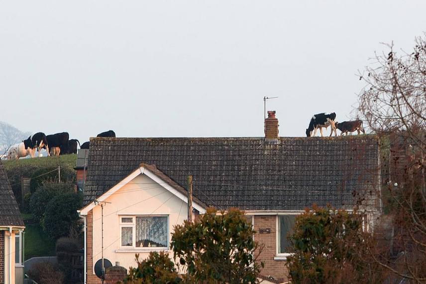 Tehenek legelnek a háztetőn? A brit Newton Abbot-ban készült fotón megtévesztésig úgy tűnik, mintha tényleg a tetőn sétálnának a kéménnyel megegyező méretű tehenek. Csak a fotó bal oldala árulkodik a valóságról.