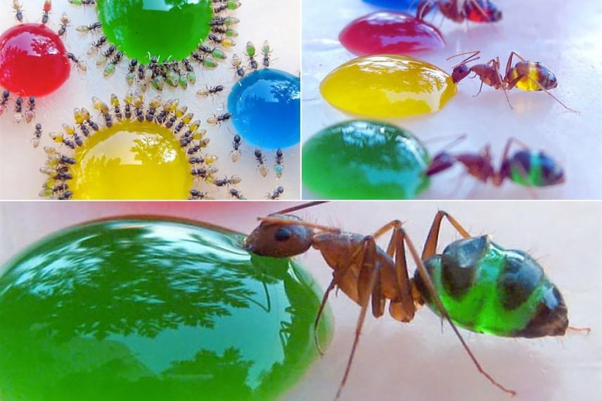 Nagyon látványos, ahogyan az átlátszó fáraóhangyák színezett cukorszirupot isznak: a testükben láthatóvá válik a folyadék, így annak árnyalata ez alapján változik.