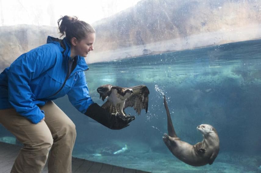 Az állatkertek részéről ugyanis csakhamar megérkezett a válasz, szintén a Twitteren. Elsőként a Virginiai Akváriumtól, akik egy vidra és halászsas nem mindennapi találkozását mutatták meg.