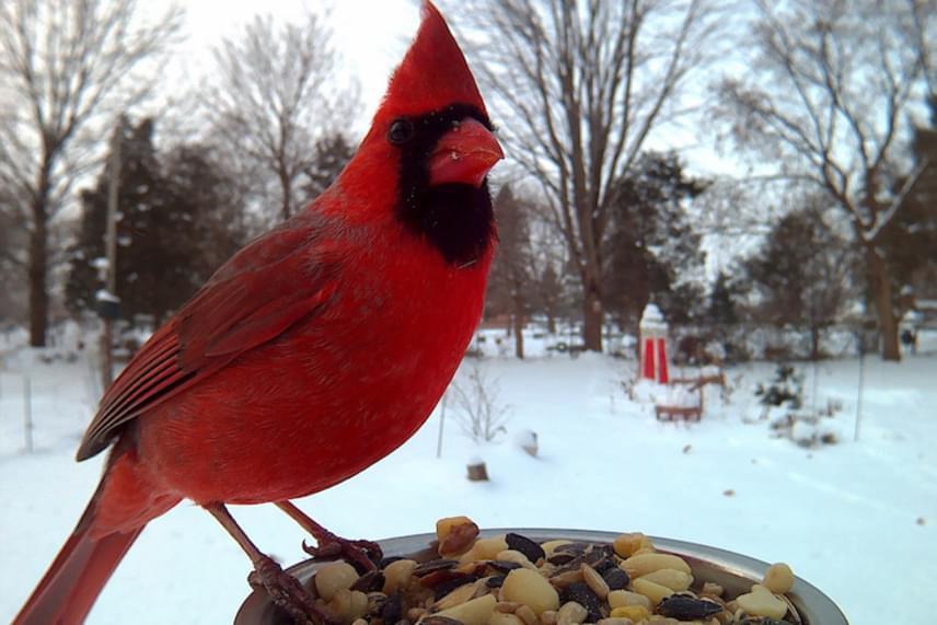 Az északi kardinális pinty feltűnő vörös tollaival az egyik legkülönlegesebb madár volt, mely Lisát meglátogatta.