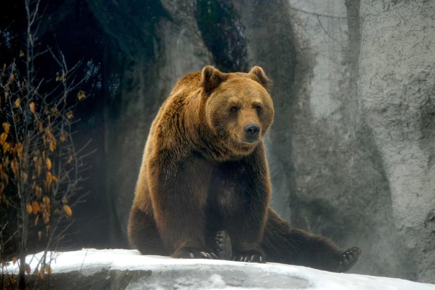 Tibor, a Fővárosi Állat- és Növénykert kamcsatkai barnamedvéje 2017. február 2-án kijött a barlangjából, és nem látta meg az árnyékát. Ha hinni lehet a népi megfigyeléseknek, ez a tél végének közeledtét jelenti.