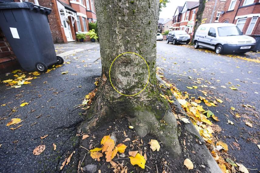 Egy manchesteri fa törzsén Szűz Mária arcát vélik látni: a vonások akkor rajzolódnak ki igazán, ha kicsiben nézed a képet.