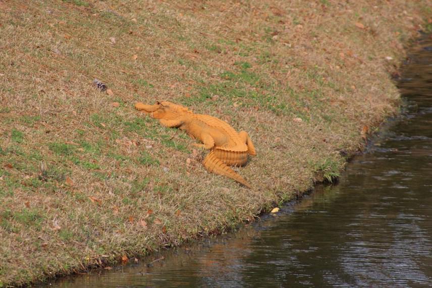A különös figyelmet kiváltó aligátor színét egyesek a rozsdáéhoz, mások az agyagéhoz vagy éppen az édesburgonyáéhoz hasonlítják, az árnyalat meghatározásán túl viszont az okokban sem biztosak.