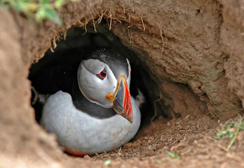 A sziget ideális fészkelő területet jelent a tengeri madarak számára, melyek a meredek sziklafalak biztonságába vájt üregekben keltik ki tojásaikat.