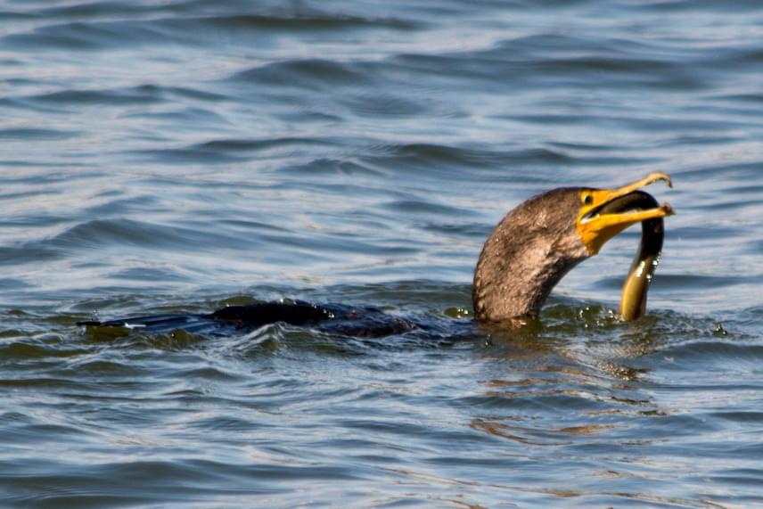 A sziget nagyobb testű madarai a kormoránok, melyek közül 750 pár fészkel a szigeten. A remekül úszó és merülő, mohó madarak óriási halakat képesek elnyelni, sőt, az angolnákat is spagettiként szippantják fel, melyekre más madárfajok lenyelhetetlenségük miatt szemet sem vetnek.