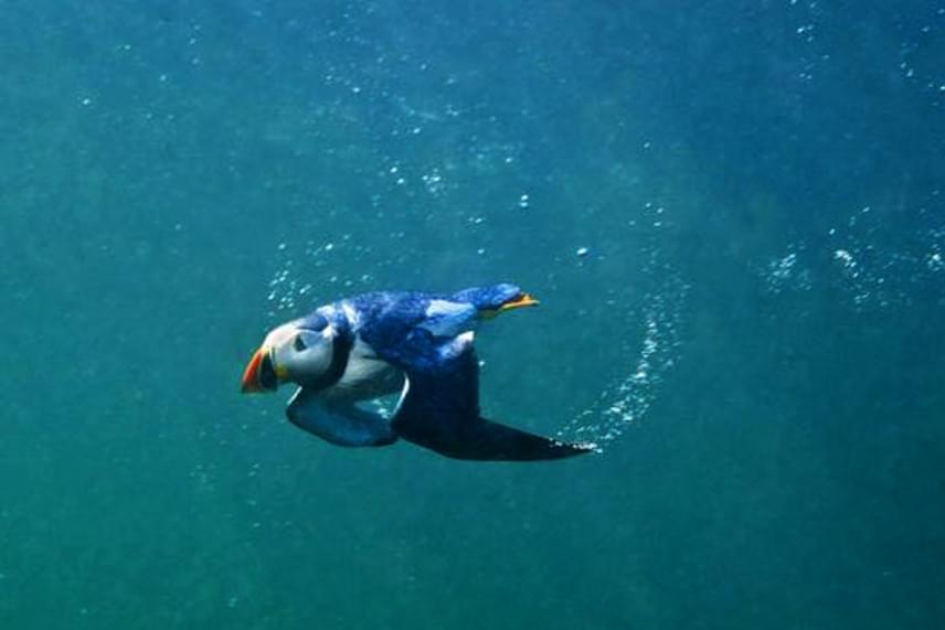 A puffinok egyik különlegessége, hogy a madarak nemcsak kiválóan repülnek, de szárnyukat használva a vízbe csapódva is képesek úszni, így kapják el zsákmányukat, a kisebb halakat.