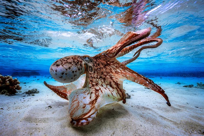 Díjazták Gabriel Barathieu Táncoló polip című fotóját is, amelyet az Indiai-óceán egy kis szigeténél készített.