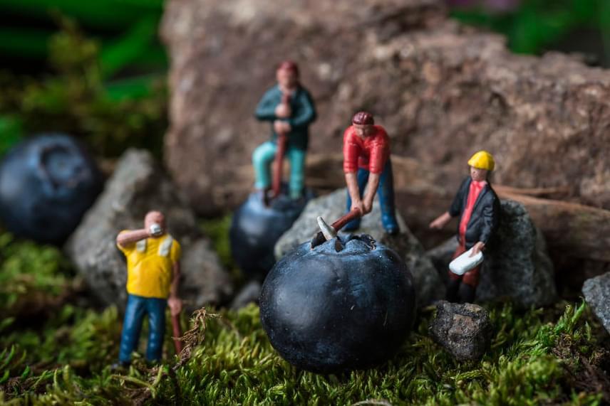 Kékáfonya-dolgozók című fotóján a mintavilág arányaiban az apróból hatalmas szeművé növekvő gyümölcsökön gőzerővel dolgoznak a munkások.