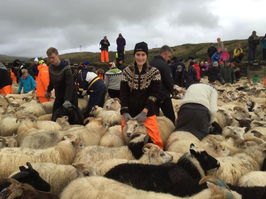 Egy ekkora gazdaságban az egyszerű hétköznapokban is bőven akad tennivaló. A legnagyobb izlandi ünnepek közé tartozó réttir idején azonban ez a munka hatványozódik: ekkor a nyárra a hegyekbe kihajtott összes juh hazatér, a gazdák pedig akár több napon át gyűjtik be saját jószágaikat.