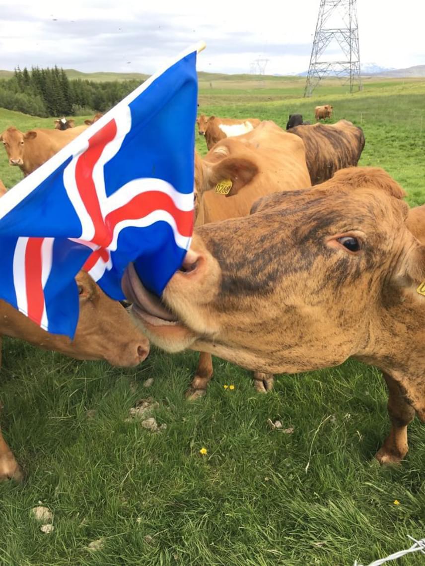 A szigetországban az izlandi függetlenség emléknapja is fontos ünnepet jelent, amelyet június 17-én tartanak meg. A farmon ez egy kicsit másként zajlik, mint a nagyobb településeken, bár a nemzeti zászló itt is elmaradhatatlan kelléke a jeles napnak.
