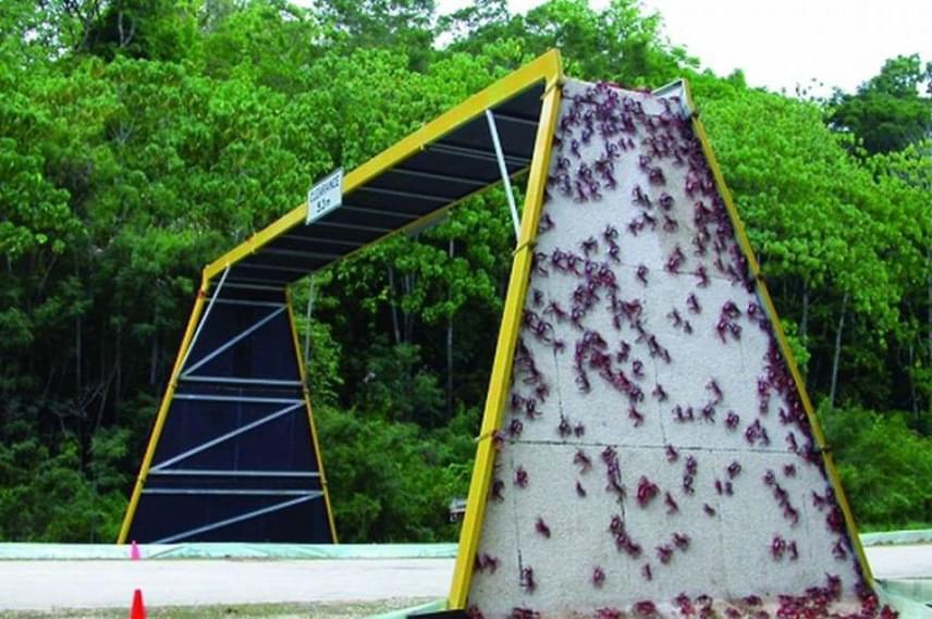 Ausztráliában apró rákok közlekednek a direkt nekik épített hídon.