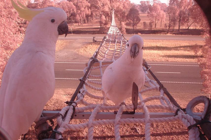 Victoria államban kötélhidat húztak ki a gyalogosan is közlekedő madarak számára.