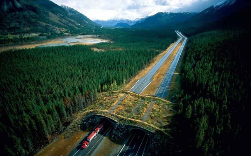A kanadai nemzeti parkon keresztülmenő utak fölé is emeltek egy hidat az állatok számára.