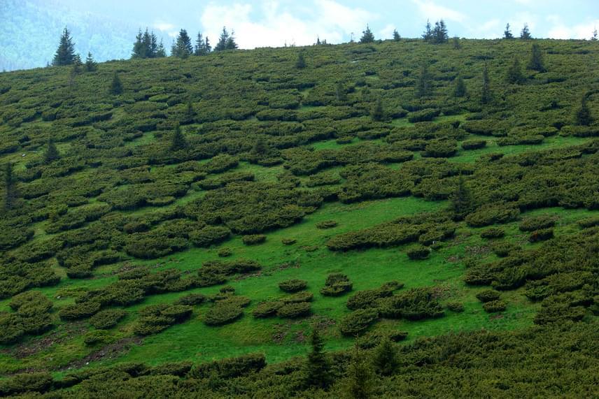 A Pádis-fennsík különleges növényei közé tartozik a földfelszín felett laposan elterülő henye boróka, melynek bokrai mozaikszerűen borítják a tájat.
